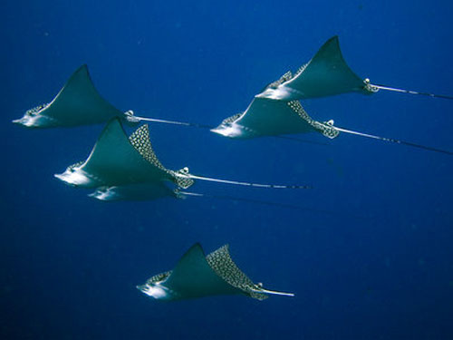 Eagle Ray | Cantarel Or Spotted Eagle Ray Wall The Reefs Of Cozumel